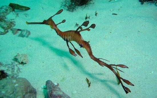 Información sobre el dragón de mar 4