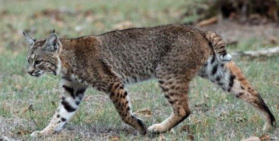 Información sobre el gato montes 1