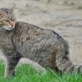 Información sobre el gato montes 2