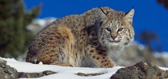 Información sobre el gato montes 3