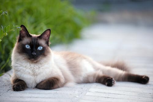 Información sobre el gato siames 1
