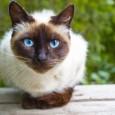 Información sobre el gato siames 2