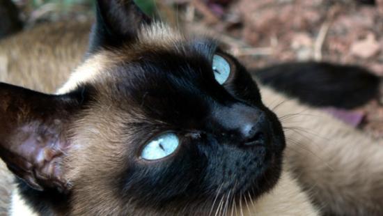Información sobre el gato siames 3