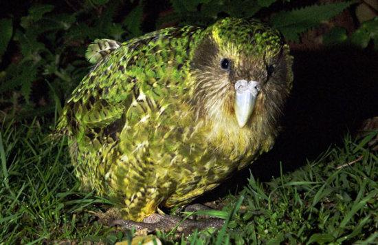 Información sobre el kakapo 1