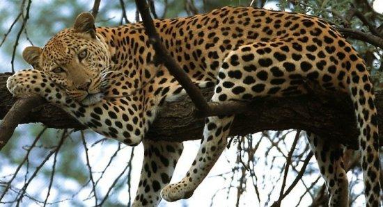 Información sobre el leopardo Amur 2