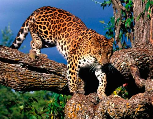 Información sobre el leopardo Amur 3