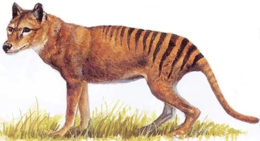 Información sobre el lobo marsupial 1