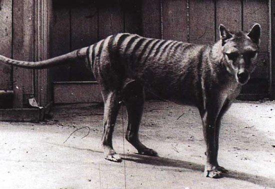 Información sobre el lobo marsupial 2