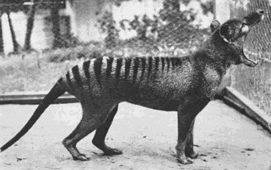 Información sobre el lobo marsupial 3