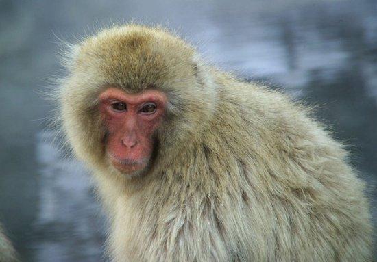 Información sobre el macaco japones 1