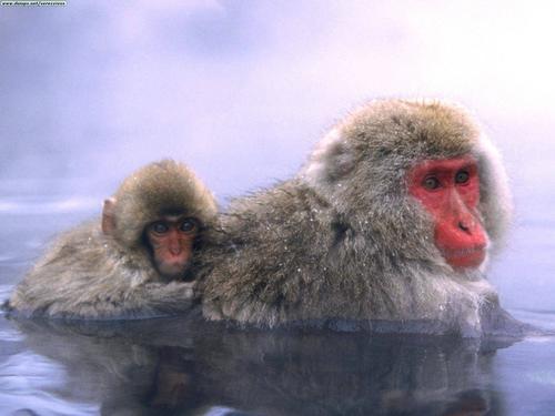 Información sobre el macaco japones 2