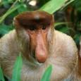 Información sobre el mono narigudo 1