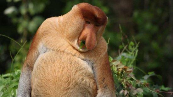 Información sobre el mono narigudo 2