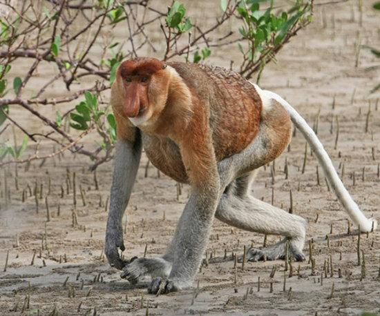 Información sobre el mono narigudo 3