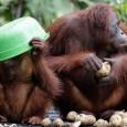 Información sobre el orangutan 1