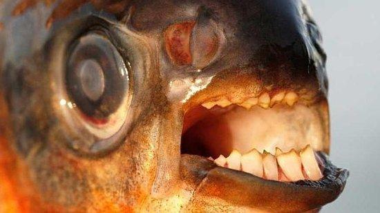 Información sobre el pez pacu 1