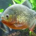 Información sobre el pez pacu 2