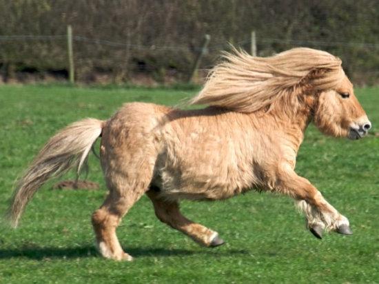 Información sobre el pony shetland 1