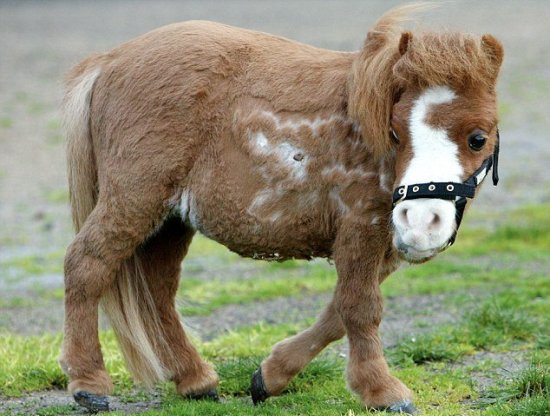 Información sobre el pony shetland 3
