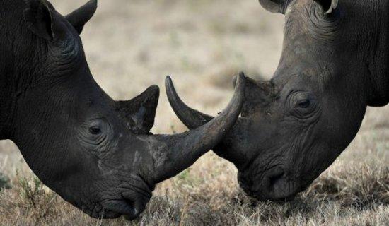 Información sobre el rinoceronte negro 2
