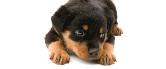 Información sobre el rottweiler 1