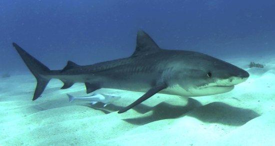 Información sobre el tiburón 1