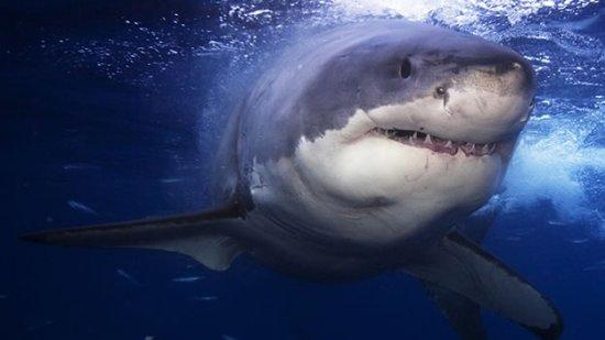 Información sobre el tiburón blanco 1