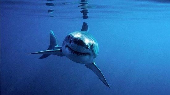 Información sobre el tiburón blanco 3