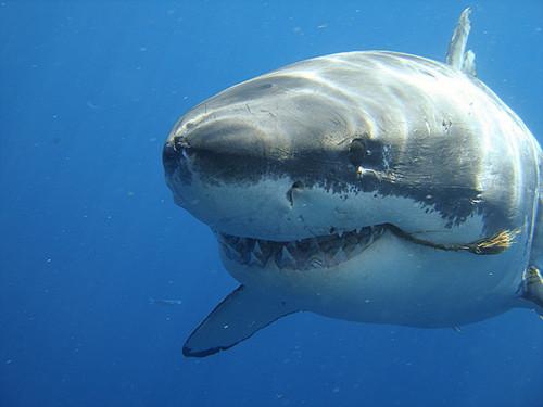Información sobre el tiburón blanco 4