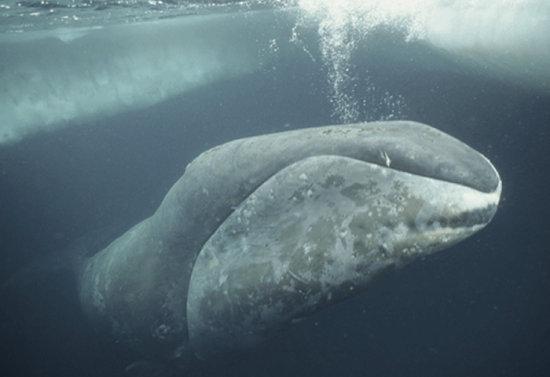 Información sobre la Ballena de Groenlandia