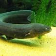 Información sobre la anguila electrica 5