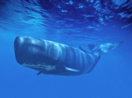 Información sobre la ballena cachalote 1