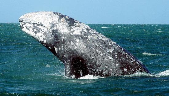 Información sobre la ballena gris 1