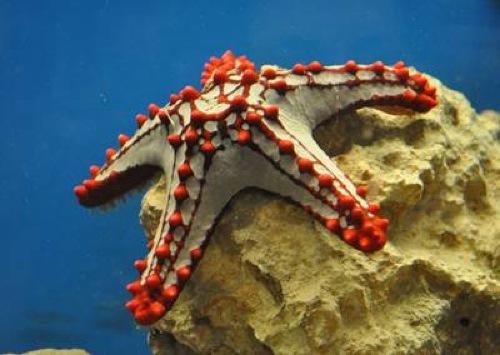 Información sobre la estrella de mar 4
