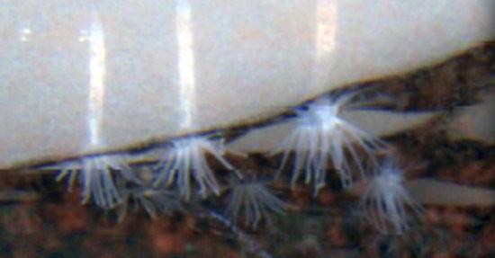 Información sobre las Anémonas del hielo 1
