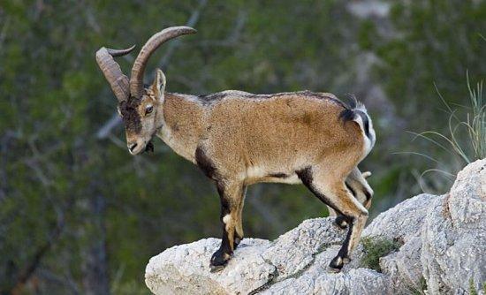 animales extintos Cabra de los pirineos