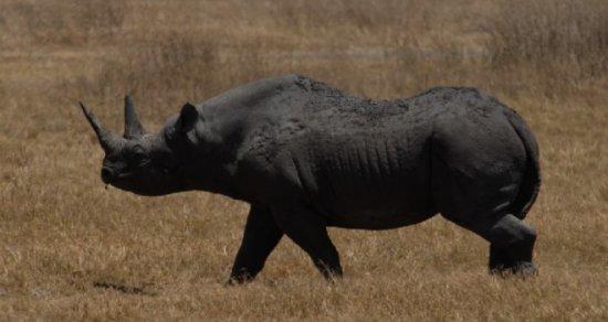 animales extintos Rinoceronte negro del oeste