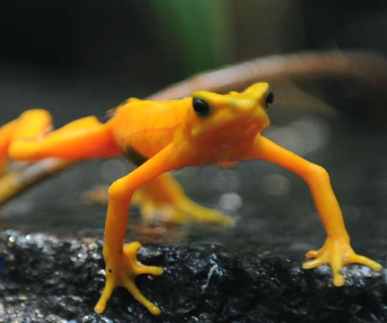 animales extintos Sapo dorado