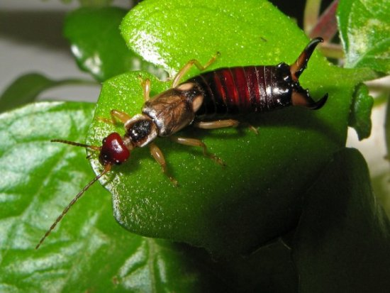 animales extintos Tijerilla de Santa Elena