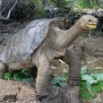 animales extintos la tortuga de Galápagos