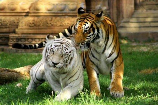 el tigre en peligro de extinción 1