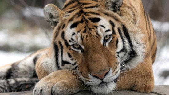 el tigre en peligro de extinción 2