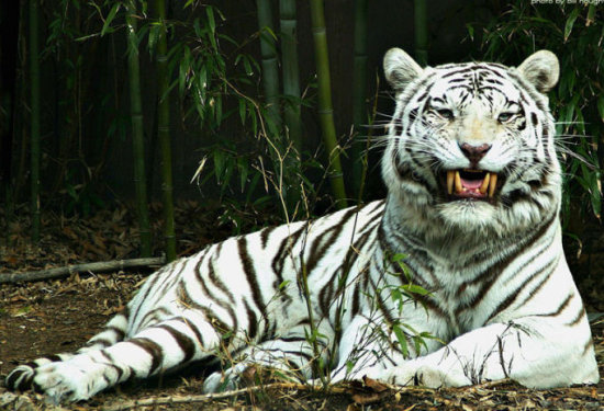 el tigre en peligro de extinción 3