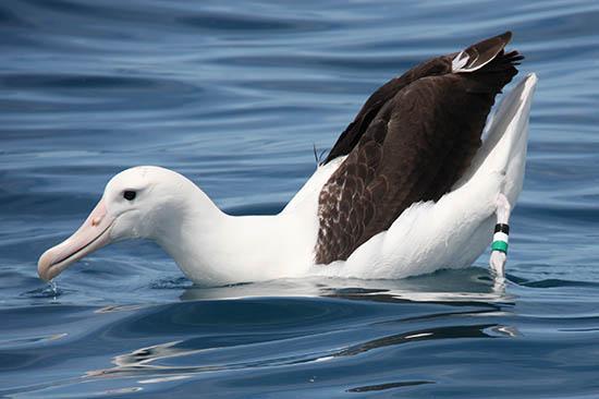 información sobre el Albatros de Tristán 1