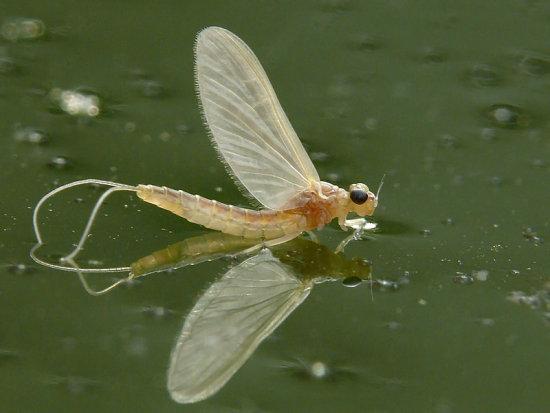 información sobre el Efemerópteros 1