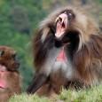 información sobre el babuino 1