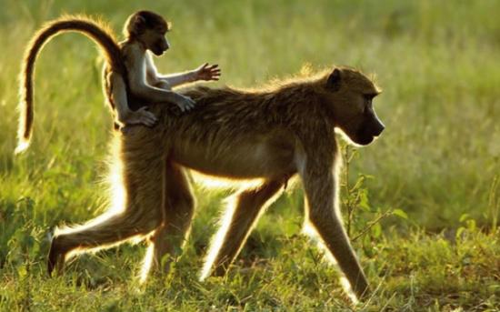 información sobre el babuino 2