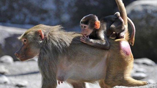 información sobre el babuino 3