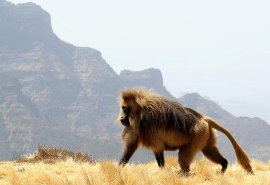información sobre el babuino 4