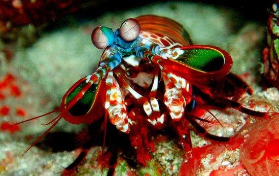 información sobre el camarón mantis 1